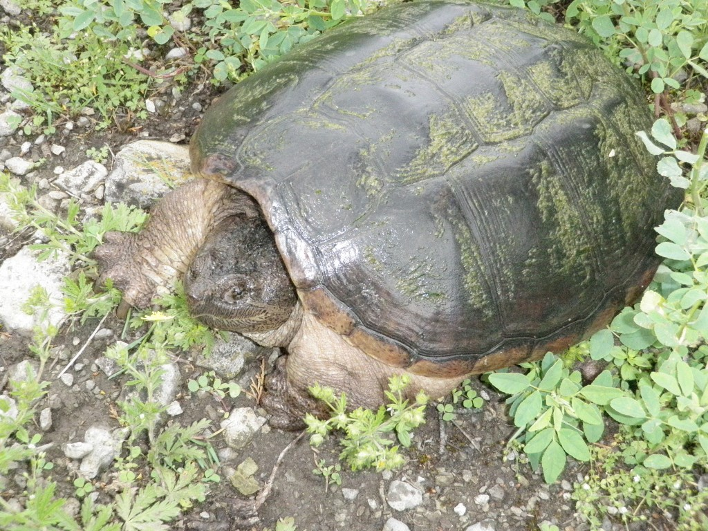 Turtles are quite abundant in the marshy areas of the TS; we discovered this one laying her eggs along the pathway between two of the locks.