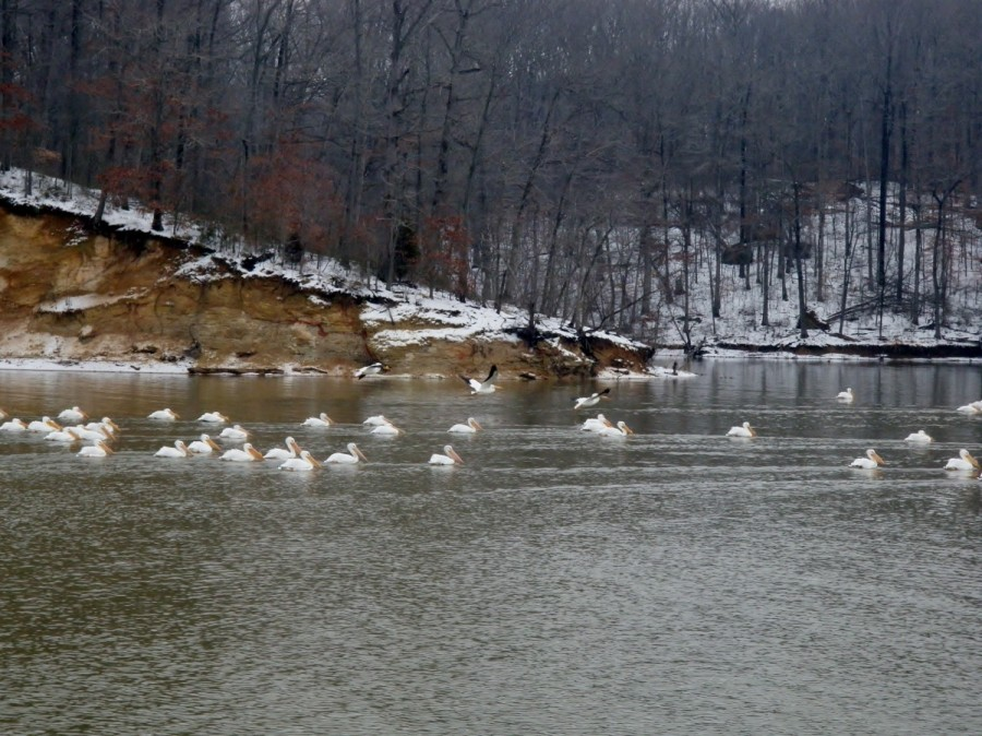We saw many wintering American White Pelicans along this section of the trip; they are large birds and majestic gliders.