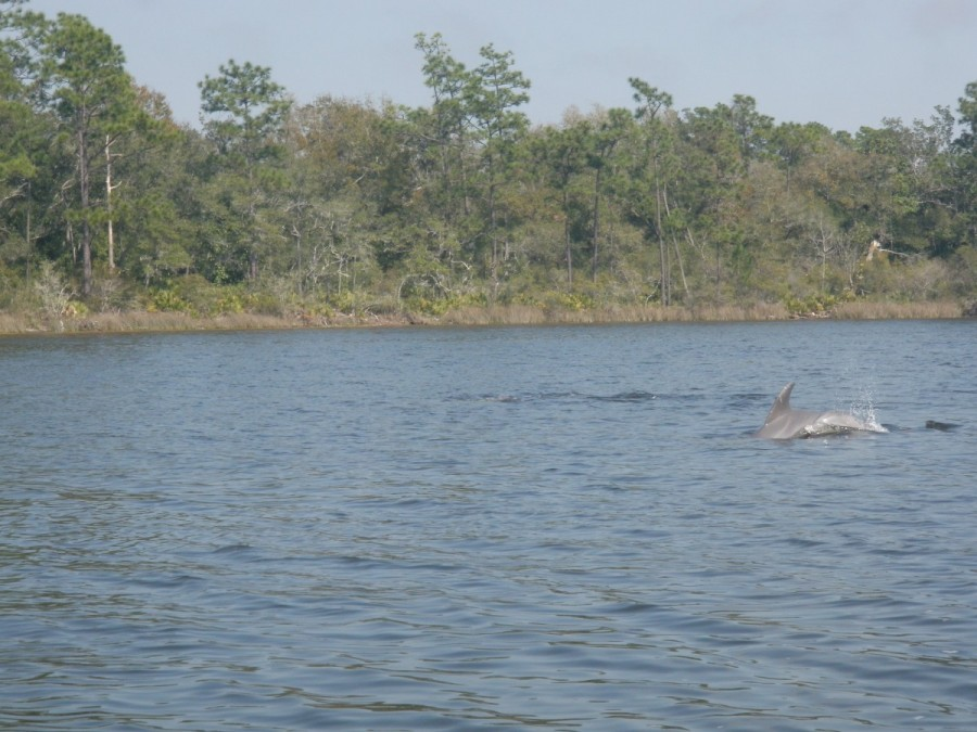 .....where we were entertained by dolphins feeding in the shallow waters for mullet.