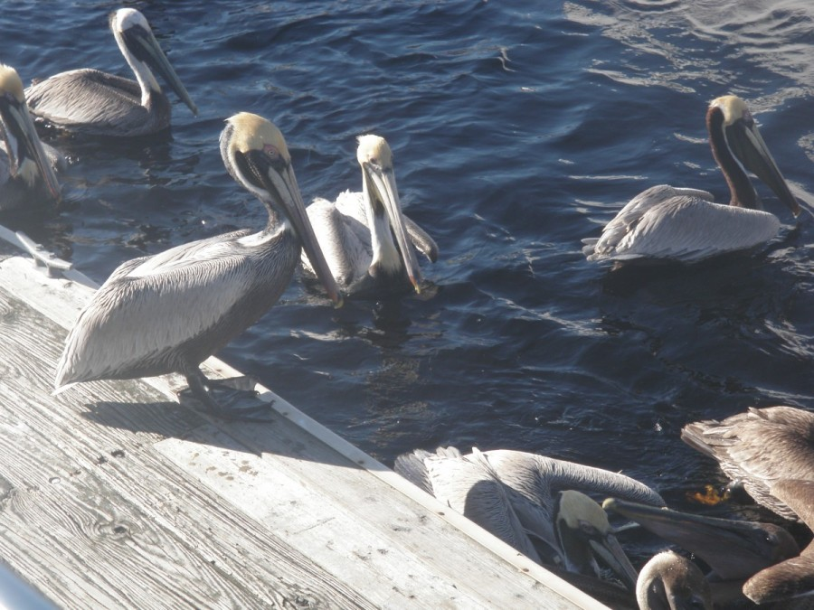 Feeding time fro the resident pelicans at the adjacent slip at Sea Hag Marina in Steinhatchee; this is a major recreational fishing centre and the remains foe the days catch are dumped in the river for these fellas to feast on.