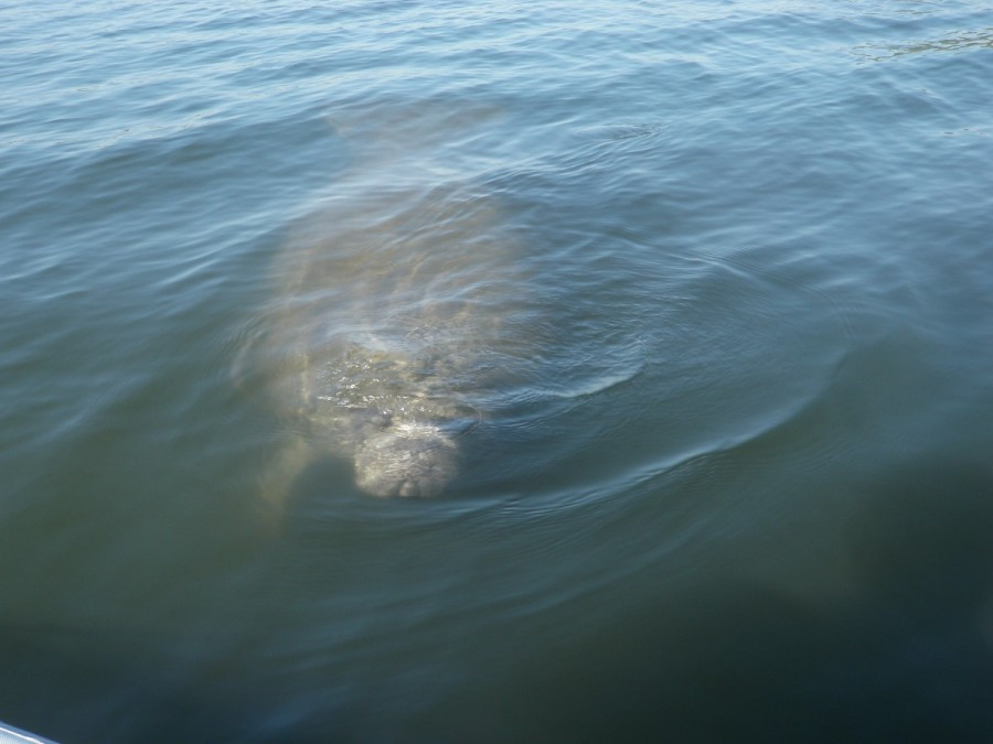 We are always delighted when we have a chance to get up close and personal  with the local wildlife, from manatees......