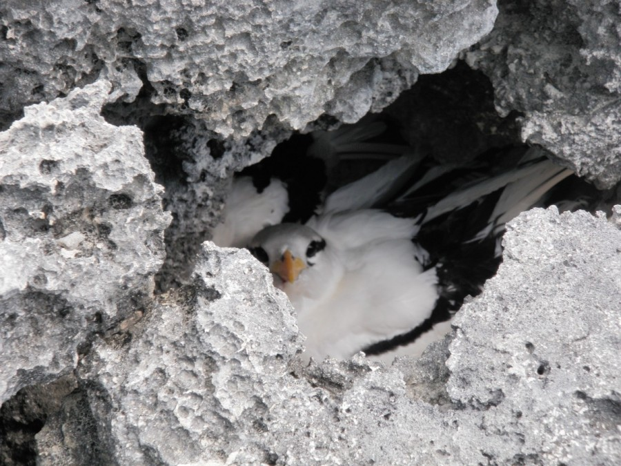 While on a hike of Warderick Wells Cay we encountered a Laughing Gull's nest, chicks and all.