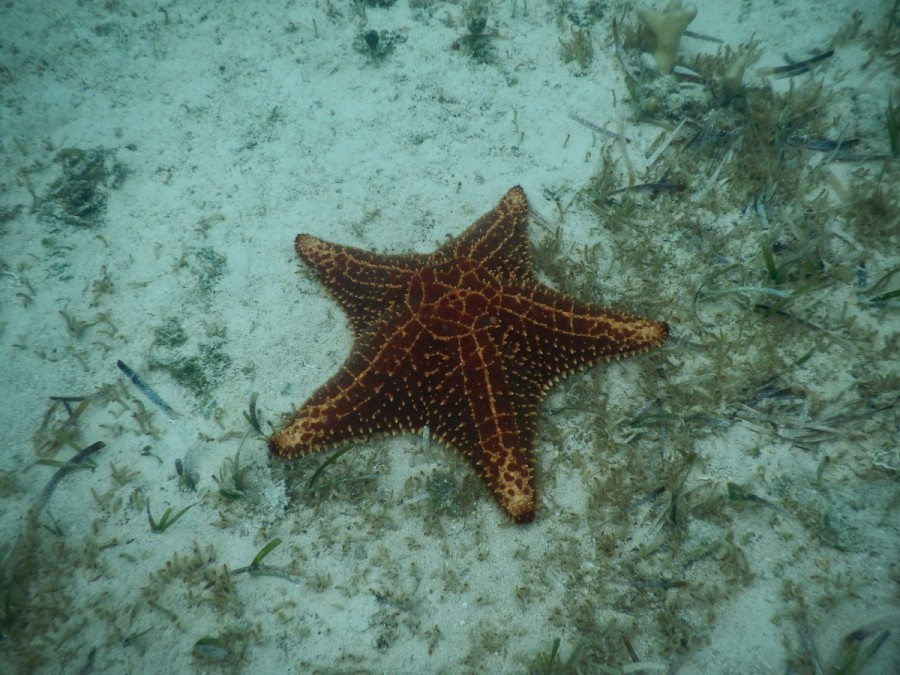 A Bahamian starfish, common to these waters, and found on the Bahamian penny.