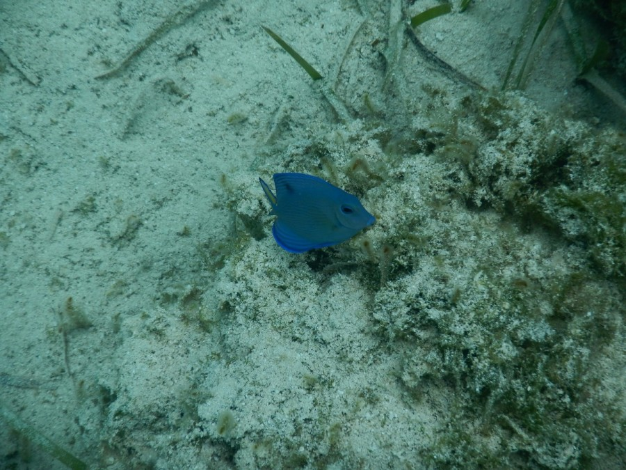 Here are a couple of pictures of some of the small, delicate fish we saw amongt the smaller coal heads we snorkelled: iridescent blue.....