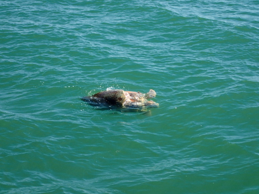 Much to our surprise, while travelling about three miles offshore, we came across this entangled pair of very large turtles; we they were mating.
