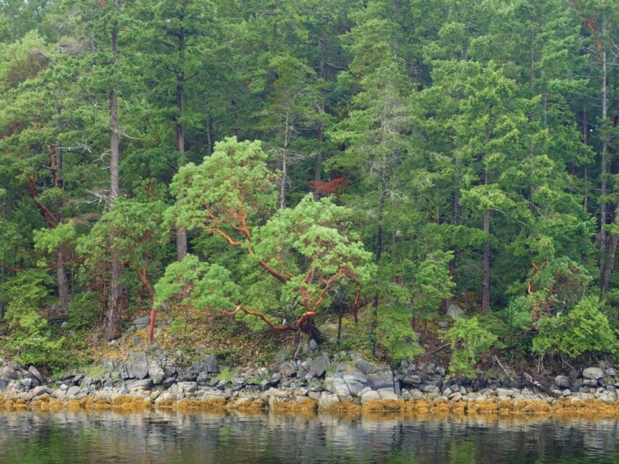 Among the typical evergreen forests of B.C., the distinctive Arbutus tree can be spotted Georgia Strait's rocky shores as far north as Desolation Sound; this was a beautiful specimen.