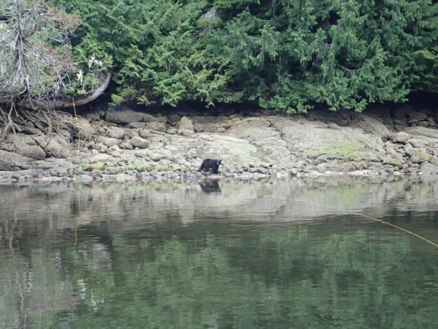 .....but it didn't matter, as this fellow (and his cousin) showed up to entertain us when we anchored in nearby Wahkana Bay, Gilford Island; at low tide the bears use their powerful forearms to to move large and small rocks to get at the goodies exposed beneath.