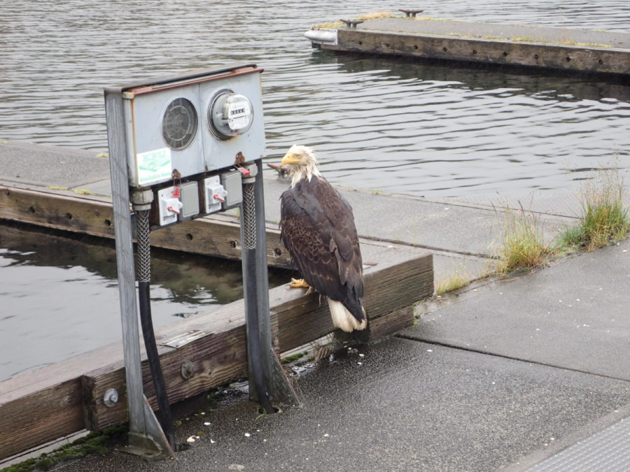 It rained so much the morning we left Ketchikan that even the local eagles were looking somewhat bedraggled.