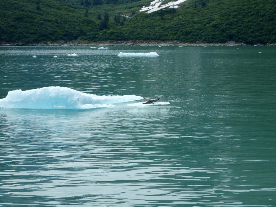 We spotted a mom and her pup on one of the bergs; the pups are born here earlier in the spring.