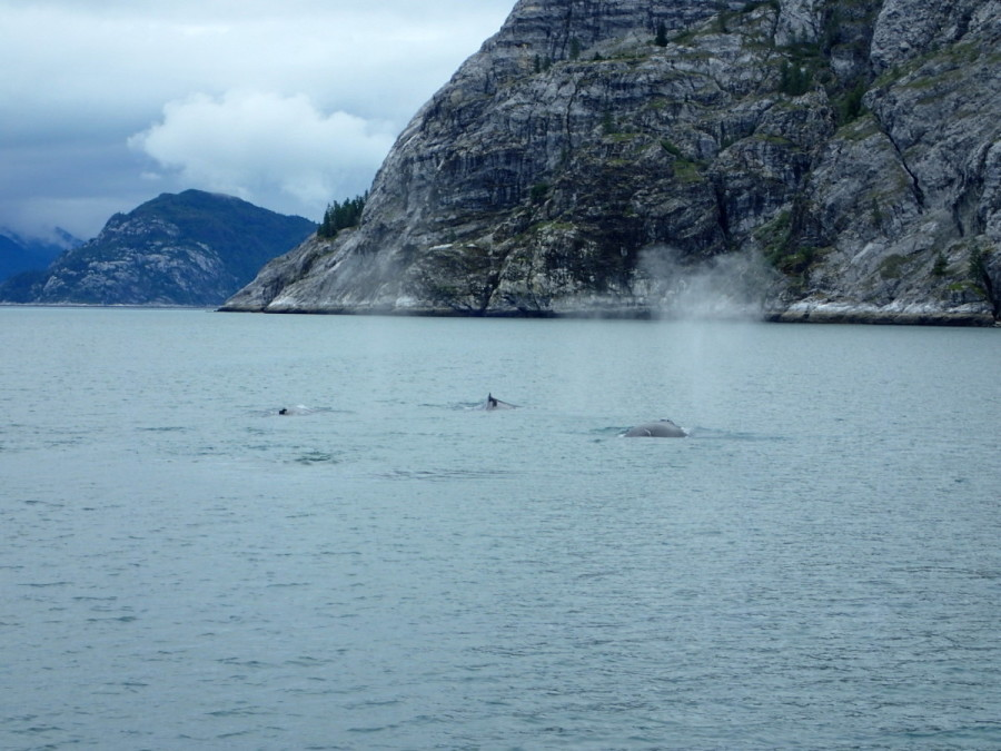 After the mandatory orientation at park headquarters and an overnight stay at Bartlett Cove, we headed northwest for the West Arm of Glacier Bay; while looking for mountain goats at Gloomy Knob we were lucky to encounter three active Humback whales, that put on quite a show for us; this included a breach by each whale, one after the other (this caught us completely off guard, so we weren't quick enough to get pictures).