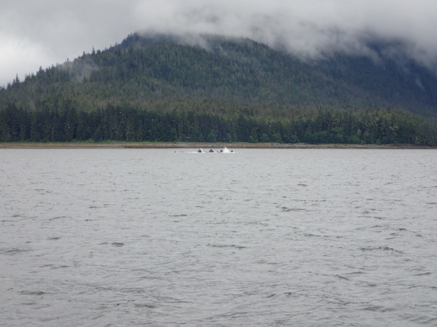 On the journey from Juneau to petersburg we cam a cross a very large number of Humpback whales; this was a behaviour we had not yet seen, in which it appears the whales gather together with there mouths in the air - perhaps for feeding?
